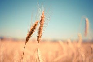 Getreide (Rohstoff für Wodka)